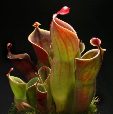 Bayur (Pterospermum sp)