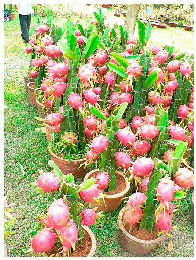Tanaman buah naga bisa digunakan sebagai tanaman hias untuk    Bibit Pohon Leci